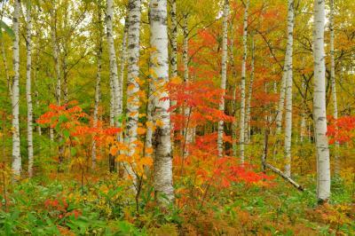 白樺林の紅葉| 高原の道路沿いは一面、白樺林。白樺の黄色い葉と白い幹、その間の赤い紅葉が美しい。