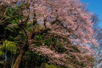 竹林とエドヒガン| 竹林と青空に映える背の高い巨桜。