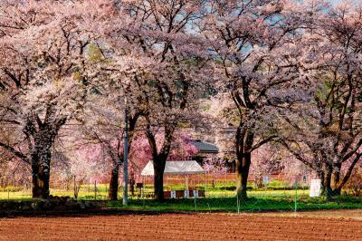 朝陽に輝いて| 桜並木に光が当たり、生き生きと桜が輝いていました。ここからは甲斐駒ヶ岳、八ヶ岳がよく見えます。