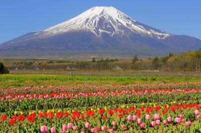 [ カラフル ]  空気が澄んで富士山が特に綺麗に見えた日でした。チューリップの絨毯と残雪の富士を楽しむことができました。