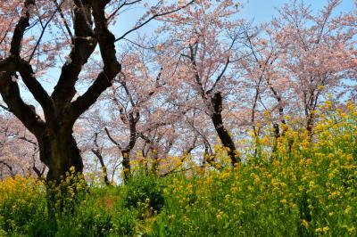 菜の花咲く丘の中から| 60本のソメイヨシノが道路の両側に咲き誇り、菜の花の絨毯が春を彩ります。