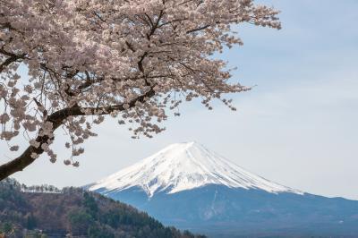 富士桜景色| 枝ぶりが美しい桜の木と富士山。晴れの日の早朝にだけ見れる日本の美。