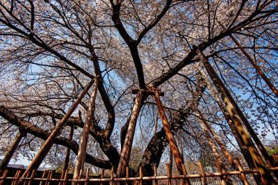 蒲桜を見上げて| 蒲桜の横に回り、広角レンズで撮影しました。