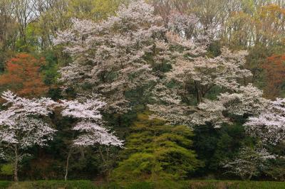 春のパレット| 湖畔の遊歩道の周りが春色で賑やかになっています。新緑と桜のバランスが良く、しっとりとした山桜風の写真が撮れました。