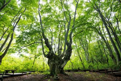 森の主・あがりこ大王  森の奥に巨木が鎮座しています。
