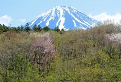 [ 新緑と山桜に囲まれた富士山 ]  精進湖入り口付近の橋の上から撮影できます。
