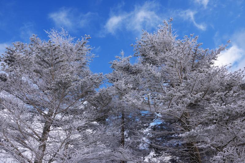[ 霧氷と青空 ]  青空には雲が流れ、その下には霧氷の木々が。高原での贅沢なひととき。