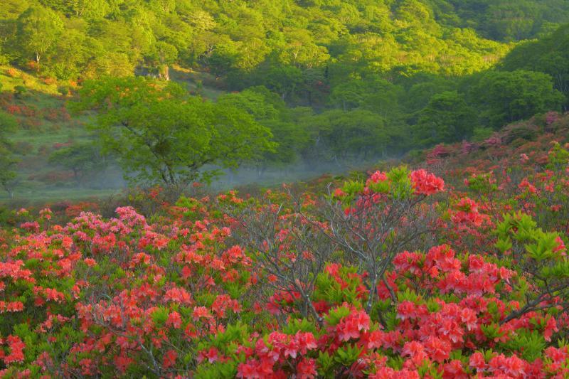朝日に輝く山とレンゲツツジ | 牧場の奥の斜面に朝陽が差し込んできました。静かに花を咲かせるレンゲツツジと朝霧。