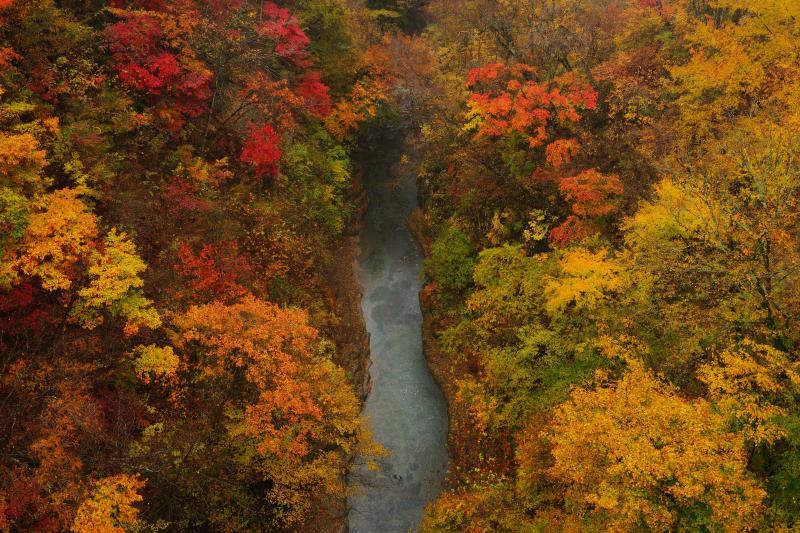 渓谷紅葉| 雨の降る中、雪割橋の上から撮影しました。紅葉した葉が雨に濡れ、しっとりと色鮮やかな写真になりました。
