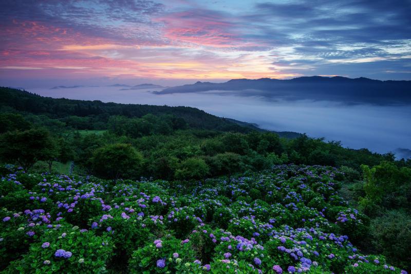 [ 美の山の紫陽花と雲海 ]  真夜中から大雲海が現れました。夜明け前に空が赤く染まり、幻想的な紫陽花の絶景が広がりました。