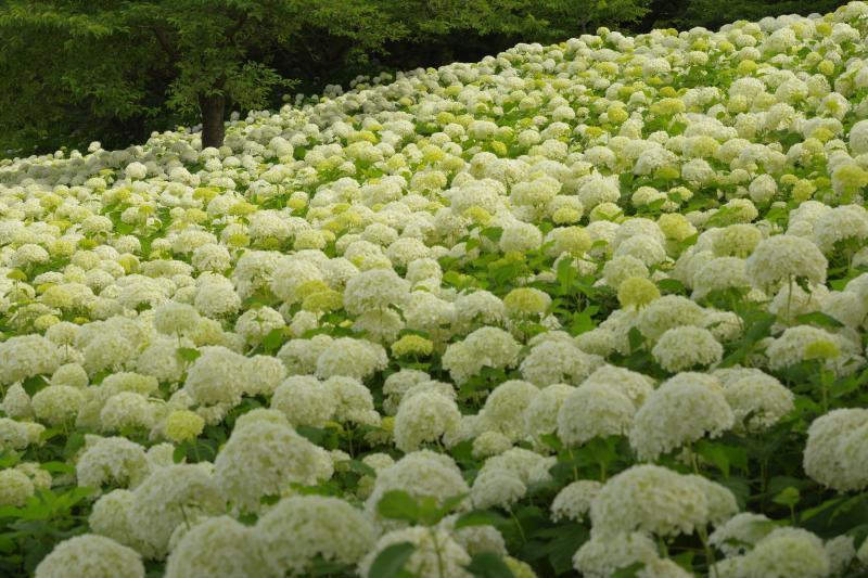 [ アナベルの群生 ]  真っ白な絨毯のような白いアジサイ「アナベル」の斜面。立体的に輝く紫陽花が美しい。