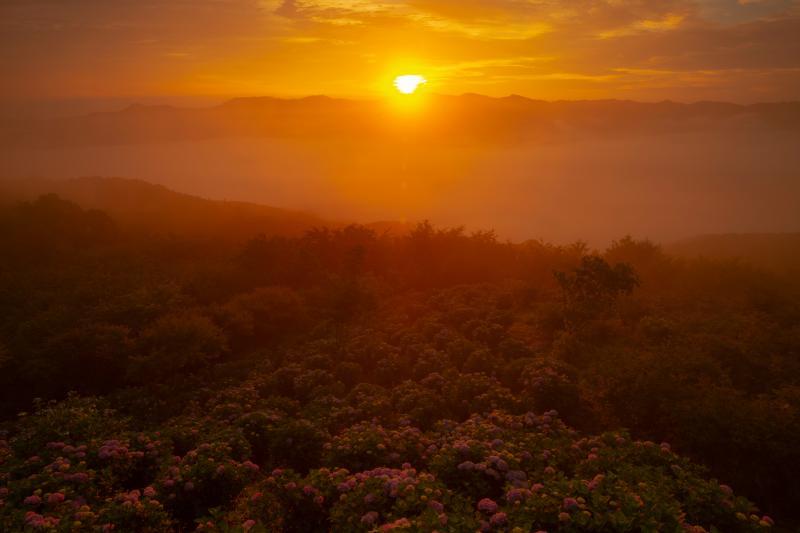 [ オレンジの染まる雲海と紫陽花の群生 ]  雲の隙間から眩しいほどの光が雲海と紫陽花の群生を照らします。一面オレンジに染まった情熱的な朝。