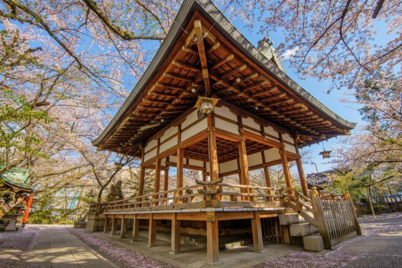 天孫神社の桜|