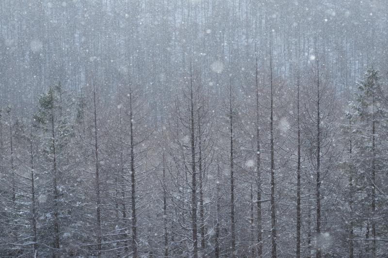[ カラマツ林と雪 ]  撮影していると、雪が空から静かに舞い降りてきました。雪の前ボケが美しく、幻想的な写真になりました。