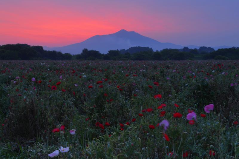 [ 朝焼けの筑波山とポピー畑 ]  早朝、空が赤く染まり筑波山のシルエットが浮かび上がります。静かに咲くポピーが幻想的でした。