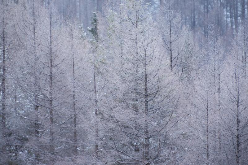 霧ヶ峰の霧氷| よく冷えた朝、カラマツが白く輝き、美しい光景が広がっていました。