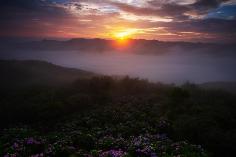 [ 美の山の紫陽花と雲海 ご来光 ]  稜線から太陽が顔を出し始めると雲海が動き出し、神秘的な紫陽花風景になりました。