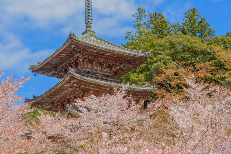 壺阪寺の桜|
