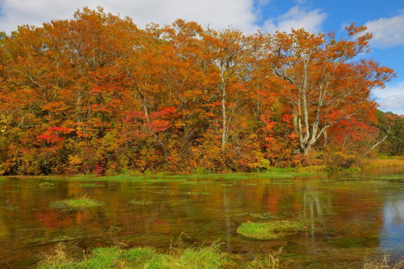 [ 清流と紅葉 ]  八甲田の豊かな湧水、それが清流のように流れています。沼の周りの木々は紅葉のピークでした。