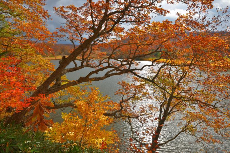 [ 大沼の紅葉 ]  遊歩道から沼に向かって枝を伸ばす木々。黄色や赤が美しく輝いていました。