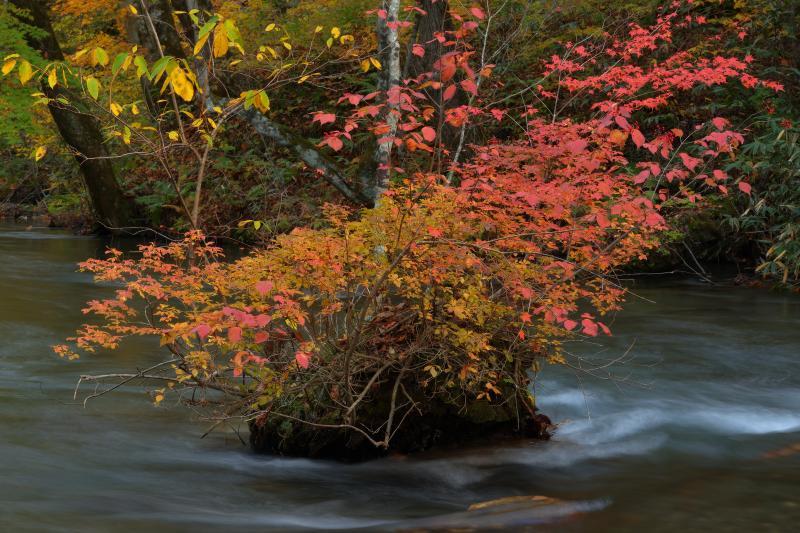 [ 奥入瀬渓流 紅葉 ]  渓流の中にある盆栽的な紅葉。奥入瀬渓流は流れが緩やかで、このような印象的な岩や島が点在しています。