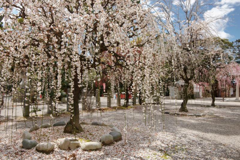 境内を彩るしだれ梅たち| 境内の入口にはしだれ梅が並んでおり、神社は春の雰囲気に包まれていました。