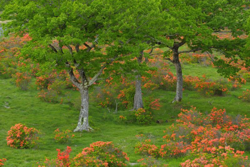 [ 三本の木 ]  牧場内にはところどころに木が植えられておりアクセントになります。爽やかな高原の夏の風景。