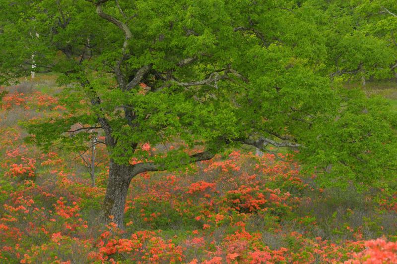 [ レンゲツツジの絨毯に包まれる木 ]  牧場の中はレンゲツツジでオレンジに染まっています。関東でもトップレベルのレンゲツツジの群生を見ることができます。