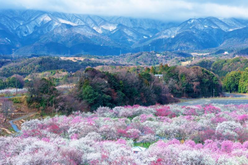 残雪の鈴鹿山脈と梅園| 夜に冷え込み、周囲の山々はうっすらと雪景色に。冬から春へと移ろう季節の中での絶景。