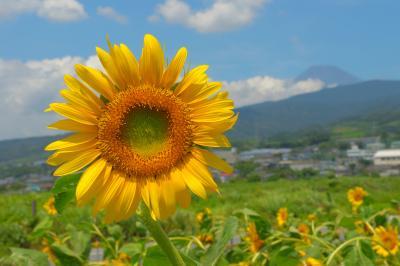 向日葵と富士| ひまわり畑の奥には富士山が見えます。向日葵と夏の雲、そして富士山のコラボが美しい。