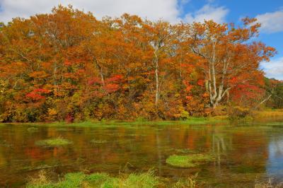 清流と紅葉| 八甲田の豊かな湧水、それが清流のように流れています。沼の周りの木々は紅葉のピークでした。