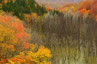 立ち枯れの密集と紅葉| 橋の上からものすごい数の立ち枯れが見えます。紅葉に囲まれて不思議な空間に。