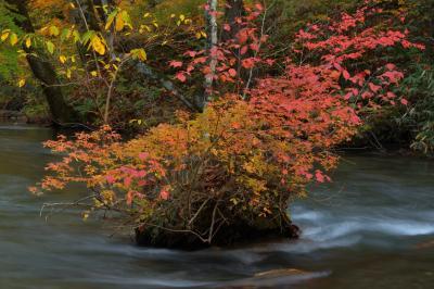 奥入瀬渓流 紅葉| 渓流の中にある盆栽的な紅葉。奥入瀬渓流は流れが緩やかで、このような印象的な岩や島が点在しています。