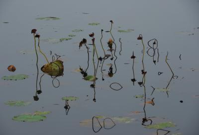 枯蓮  秋には枯れた蓮が水面から顔を出していました。ここは道の駅隣接の蓮スポットです。