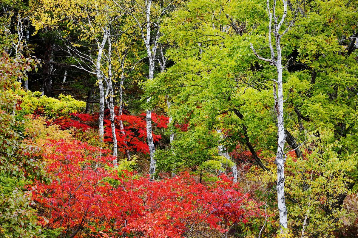 一沼の紅葉 白樺と赤い葉が美しい