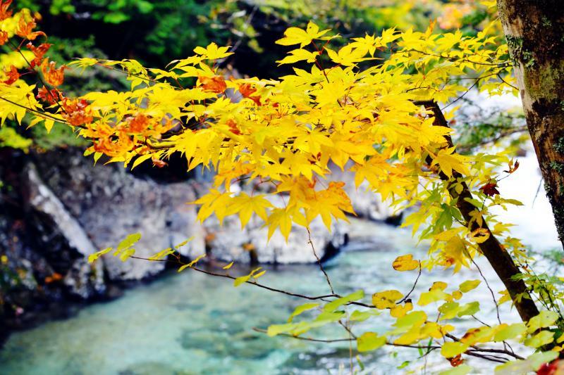 [ 黄色紅葉と渓谷 ]  黄色の紅葉が目立っています