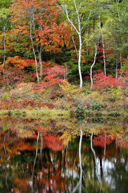 [ 紅葉と白樺 ]  紅葉が水面に映ります