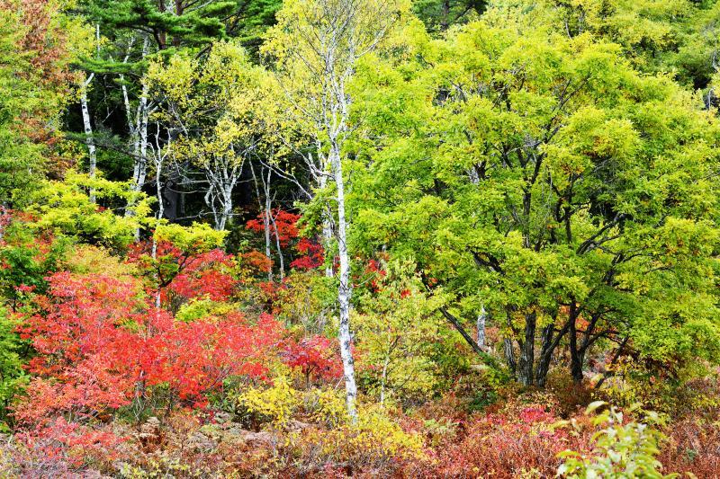 一沼の紅葉 No2 | 紅葉と白樺のバランスが絶妙