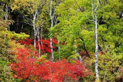[ 一沼の紅葉 ]  白樺と赤い葉が美しい