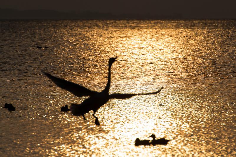 黄金の舞 | 朝日で輝く猪苗代湖の湖面。一羽の白鳥が飛び込んで来ました。