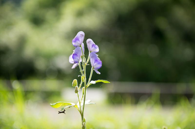 [ トリカブト ]  紫の美しい花です。