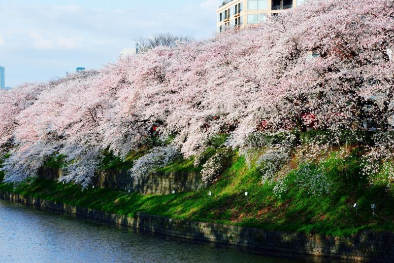 [ 歓迎 ]  見事な桜並木が人々を迎えてくれます。