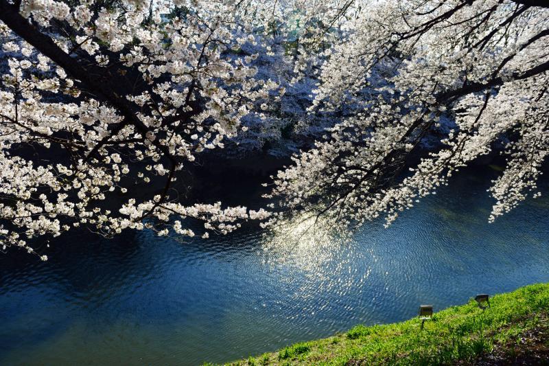 [ ブルーの水面 ]  桜が水に手を伸ばしています。
