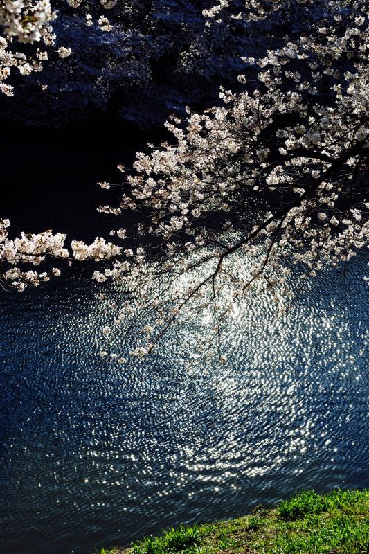 [ 千鳥ヶ淵の桜 ]
