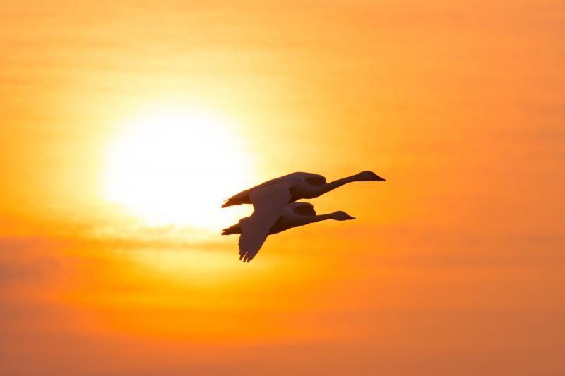 [ 朝日を浴びる白鳥 ]  夜明けと共に長浜に飛んできます。