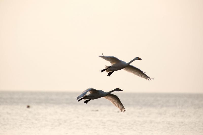 [ 朝の舞 ]  優雅に2羽で飛んできました。