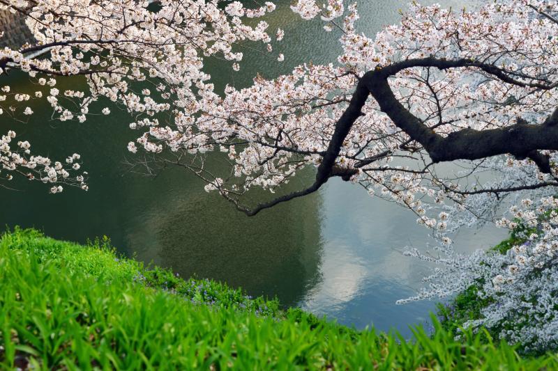 [ お堀に手を伸ばし ]  上から見下ろす桜