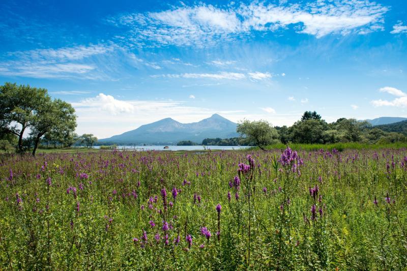 ミソハギと磐梯山 ピンクのミソハギが一面に広がっています。