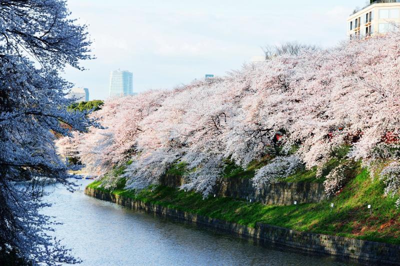 [ 土手を埋め尽くす千鳥ヶ淵の桜 ]  土手から溢れるような桜です。