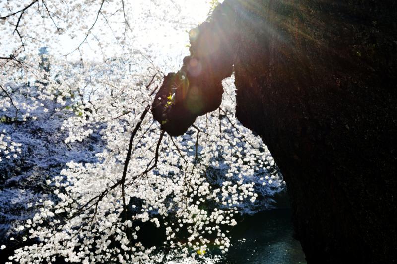 [ 桜の光芒 ]  眩しい日差しになってきました。